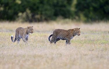 Leopard (Panthera pardus) mother and son in savanna, Masai Mara, Kenya