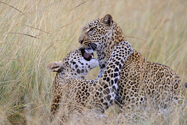 Leopard (Panthera pardus) mother and son playing, Masai Mara, Kenya