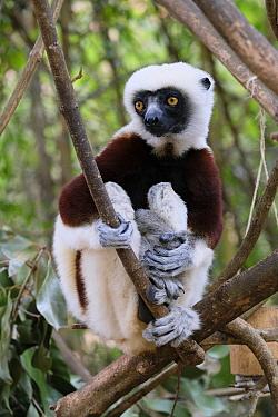 Crowned Lemur (Eulemur coronatus) holding young, Madagascar