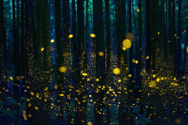 Japanese Firefly (Luciola cruciata) group lighting up at night in forest, Shikoku, Japan