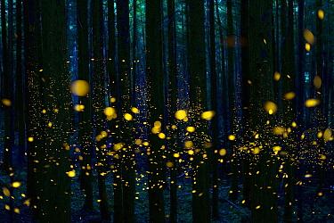 Japanese Firefly (Luciola cruciata) group lighting up at night in forest, Shikoku, Japan