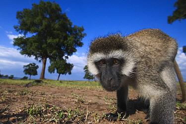 Black-faced Vervet Monkey (Cercopithecus aethiops), Masai Mara, Kenya