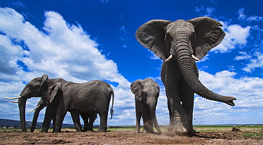 African Elephant (Loxodonta africana) herd feeding on soil for minerals, Masai Mara, Kenya
