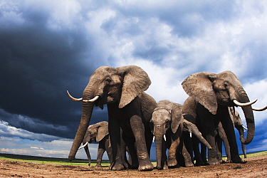 African Elephant (Loxodonta africana) herd in defensive posture during storm, Masai Mara, Kenya