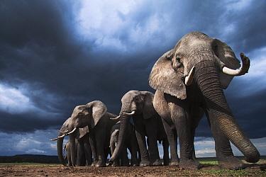African Elephant (Loxodonta africana) herd during storm, Masai Mara, Kenya