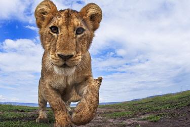 African Lion (Panthera leo) cub, eleven months old, Masai Mara, Kenya
