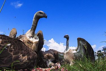 White-backed Vulture (Gyps africanus) group feeding on kill, Masai Mara, Kenya
