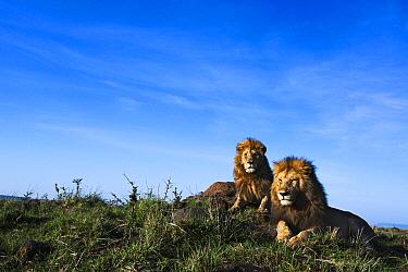 African Lion (Panthera leo) males, Masai Mara, Kenya