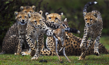 Cheetah (Acinonyx jubatus) cubs learning to hunt Thomson's Gazelle (Eudorcas thomsonii) fawn that their mother caught, Masai Mara, Kenya, sequence 1 of 3