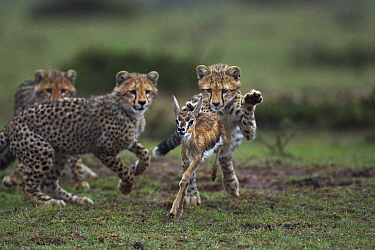Cheetah (Acinonyx jubatus) cubs learning to hunt Thomson's Gazelle (Eudorcas thomsonii) that their mother caught, Masai Mara, Kenya