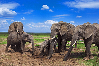 African Elephant (Loxodonta africana) herd feeding on loose soil for minerals, Masai Mara, Kenya