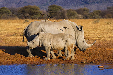 White Rhinoceros (Ceratotherium simum) mother and calf with Red-billed Oxpeckers (Buphagus erythrorhynchus), South Africa