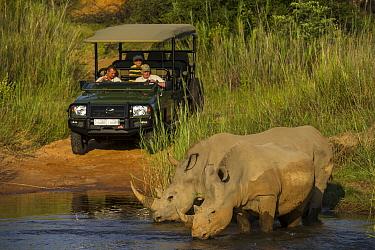 White Rhinoceros (Ceratotherium simum) pair drinking near safari vehicle, South Africa
