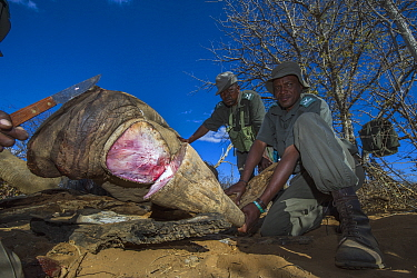 White Rhinoceros (Ceratotherium simum) horn cut off by rangers after poachers abandoned it, South Africa
