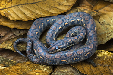 Rainbow Boa (Epicrates cenchria cenchria) young, native to Central and South America