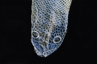 Rainbow Boa (Epicrates cenchria cenchria) shed skin, native to Central and South America