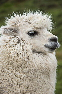 Alpaca (Lama pacos), Antisana Ecological Reserve, Ecuador
