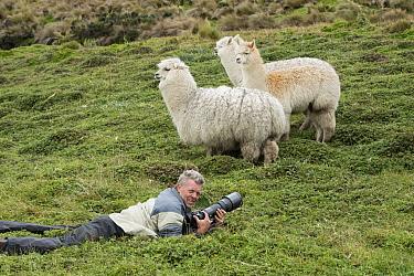 Alpaca (Lama pacos) trio and photographer Pete Oxford, Antisana Ecological Reserve, Ecuador