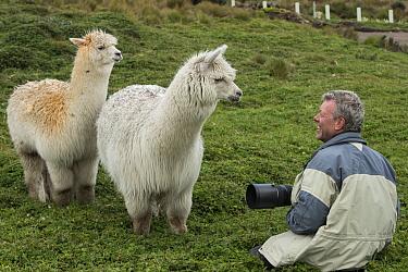 Alpaca (Lama pacos) pair and photographer Pete Oxford, Antisana Ecological Reserve, Ecuador