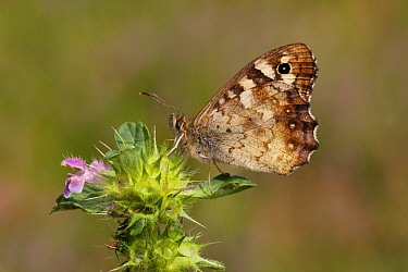 Speckled Wood (Pararge aegeria) butterfly, Netherlands