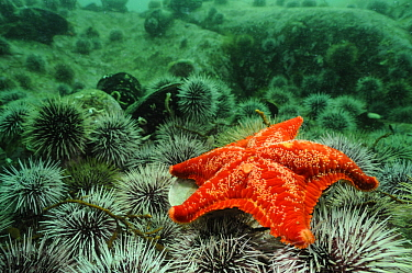 Red Cushion Star (Porania pulvillus) on a bed of sea urchins, Lysefjord, Norway