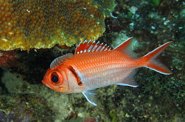 Crimson Soldierfish (Myripristis murdjan) with parasite, Dominican Republic, Caribbean
