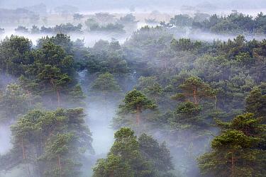 Heathland in fog,  Kalmthoutse Heide, Belgium