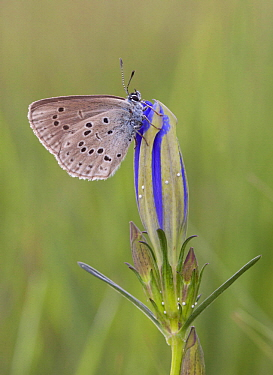 Alcon Blue (Maculinea alcon) butterfly, Netherlands