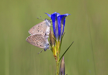 Alcon Blue (Maculinea alcon) pair mating, Netherlands