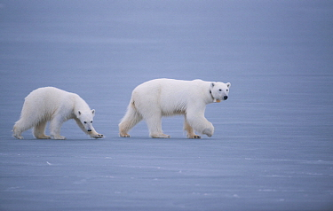 Polar Bear (Ursus maritimus) mother and cub on ice, Spitsbergen, Norway