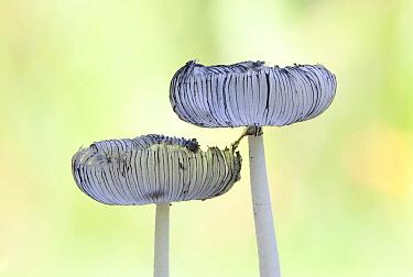 Hare's Foot (Coprinus lagopus) mushrooms, Netherlands
