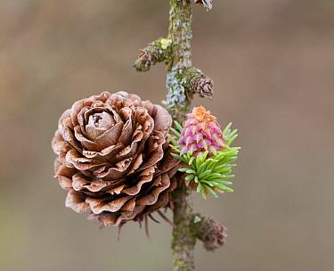 Larch (Larix sp) female cone, Netherlands