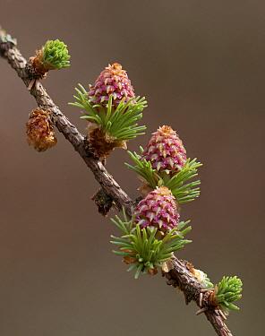 Larch (Larix sp) female cones, Netherlands