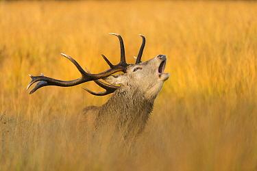 Red Deer (Cervus elaphus) stag bellowing, England, United Kingdom