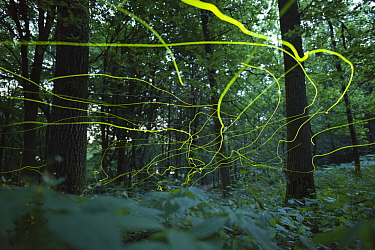 Firefly (Lamprohiza spledidula) flying in forest, Netherlands