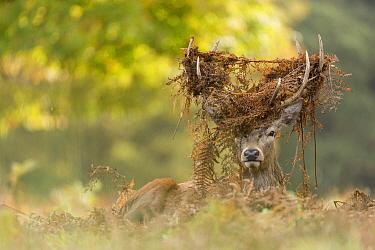Red Deer (Cervus elaphus) stag with vegetation on antlers, England, United Kingdom