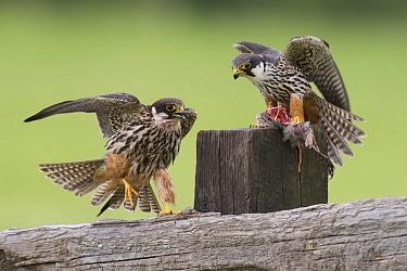 Eurasian Hobby (Falco subbuteo) pair transferring prey, Netherlands