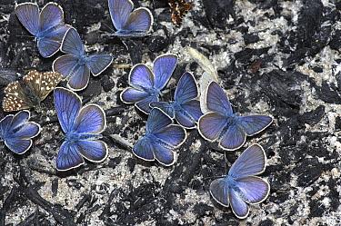 Mazarine Blue (Cyaniris semiargus) butterflies, North Macedonia