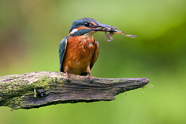 Common Kingfisher (Alcedo atthis) with frog prey, Netherlands