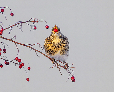 Fieldfare (Turdus pilaris) feeding on berries, Netherlands