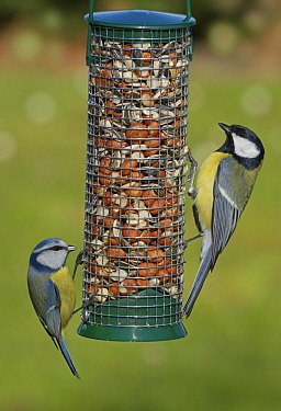 Blue Tit (Cyanistes caeruleus) and Great Tit (Parus major) at bird feeder, Netherlands