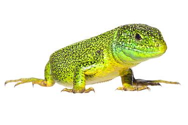 Western Green Lizard (Lacerta bilineata) male, France