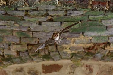 Daubenton's Bat (Myotis daubentonii) flying in cellar, Netherlands