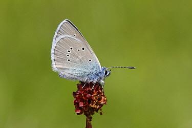 Mazarine Blue (Cyaniris semiargus) male, Germany