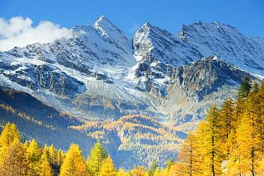European Larch (Larix decidua) trees in autumn near mountains, Gran Paradiso National Park, Italy