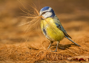 Blue Tit (Cyanistes caeruleus) collecting Domestic Dog (Canis familiaris) hair for nest, Netherlands