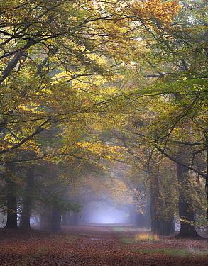 European Beech (Fagus sylvatica) trees in autumn, Netherlands