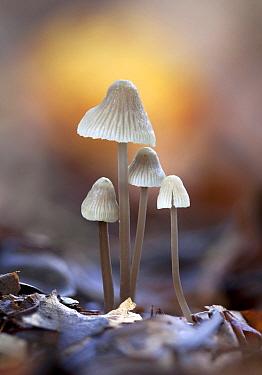 Milking Bonnet (Mycena galopus) mushrooms, Netherlands
