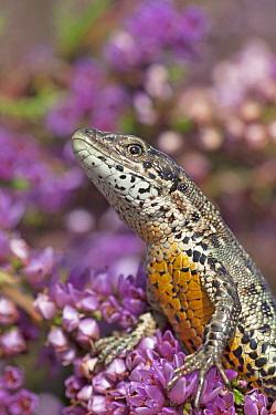 Viviparous Lizard (Zootoca vivipara), Netherlands