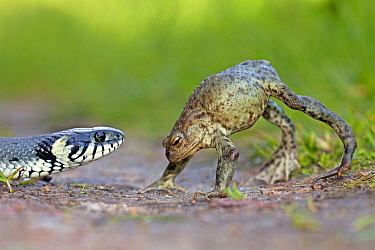 European Toad (Bufo bufo) in defensive display as Grass Snake (Natrix natrix) approaches, Poland